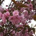 2009 05 13 le cerisier d'ornement en fleur