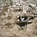 amboseli oiseaux p