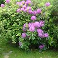 Des rhododendrons