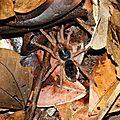 Neostenotarsus guianensis