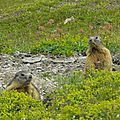 Ecrins19-marmottes
