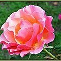 Rose 1509152