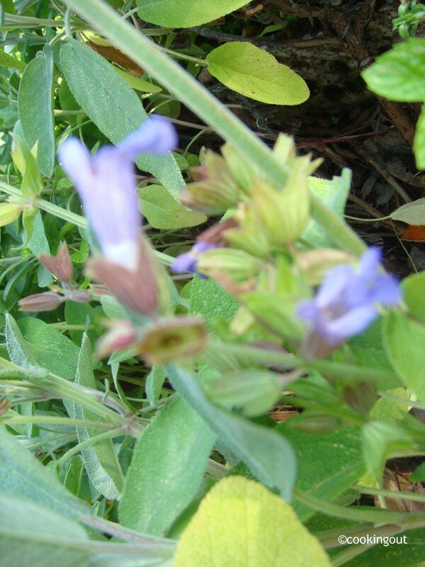 Fleur de sauge