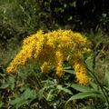 Fleurs de l'été: verge d'or
