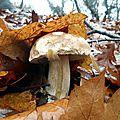 Cèpe de Bordeaux parmi les feuilles, le 20 décembre 2014...