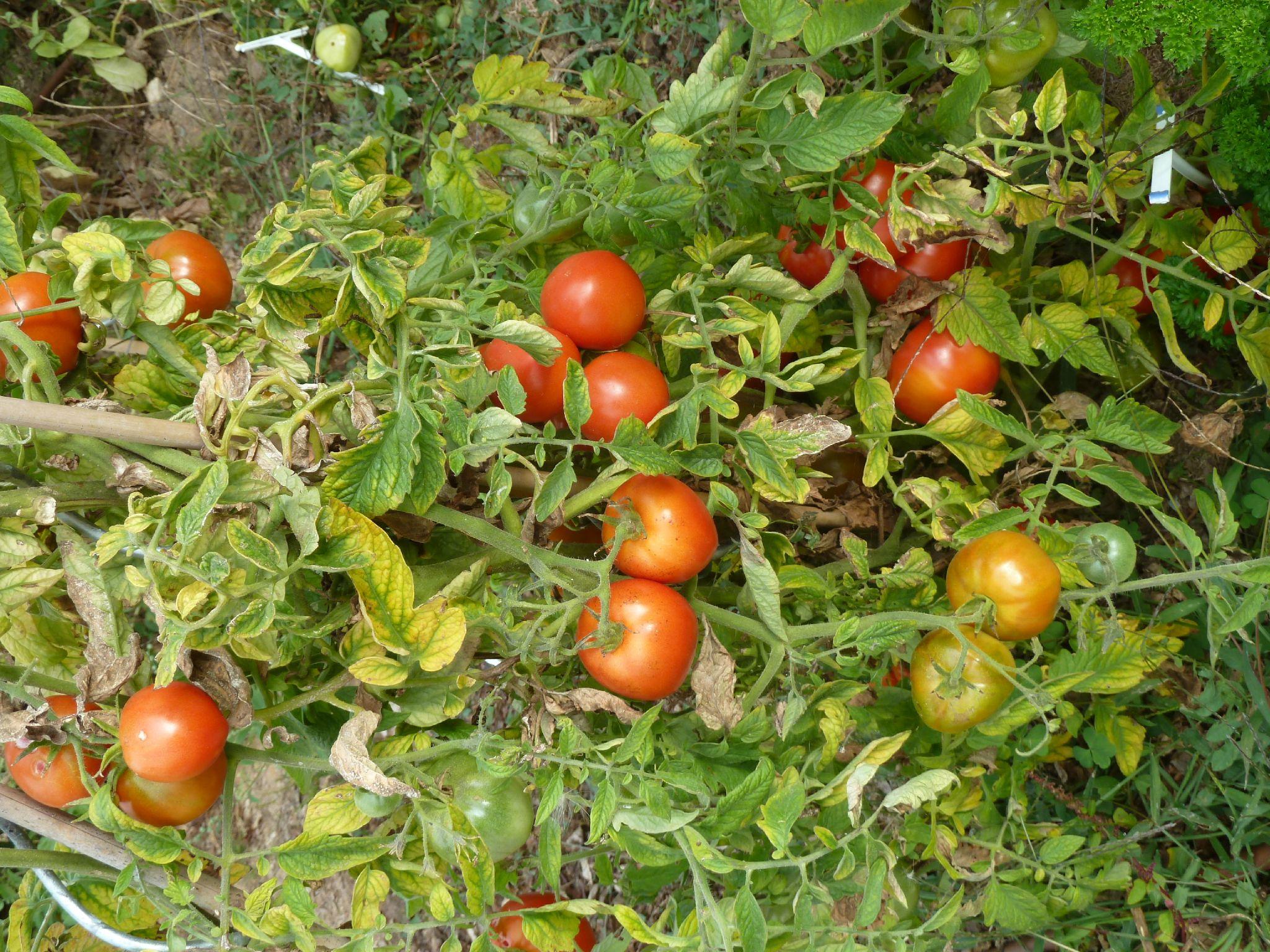 tomates montfavet - www.passionpotager.canalblog.com