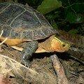 Tortue boîte à bord jaune/yellow margined box turtle/食蛇龜 (cistoclemmys flavomarginata)