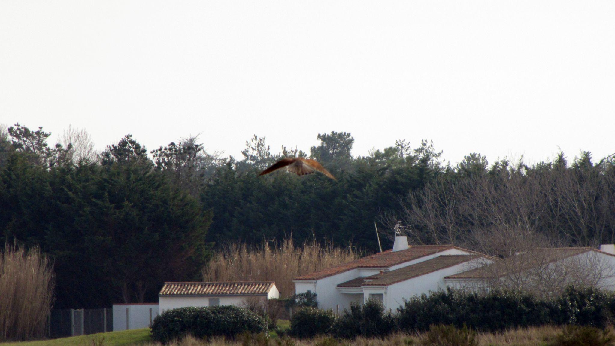 Oiseaux ile de re rapace foto Mo2 (18)-h1500