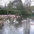 Flamands roses au zoo