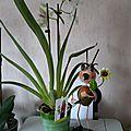 Ma nouvelle orchidée pensée : une miltoniopsis