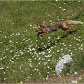 Chasse aux marmottes