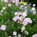fleurs vivaces chez M.Garcin: oenothera siskiyou