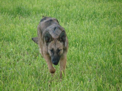 2008 06 10 Kapy qui cour dans l'herbe