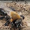 La nidification des <b>abeilles</b> et guêpes solitaires...