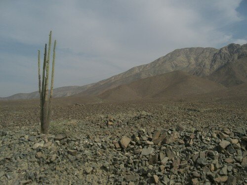 Après Nazca, vers Cuzco. Cactus