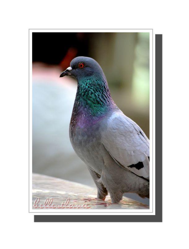 pigeon de Chambery
