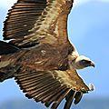 vautourIMG_1437