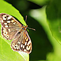 Tircis * Speckled wood
