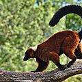 Parc animalier de Sainte-Croix - Lémuriens - Le Vari roux