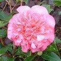Fleur du camélia de Lilou