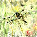Quadrimaculata femelle