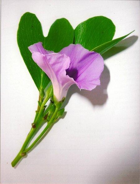 fleur ipoméa