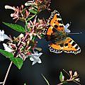 Un de nos papillons en forte régression...