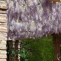 Glycines des jardins de l'Alhambra de Grenade
