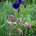 Iris sibirica ' caesar's brother' et aquilegia 'nora barlow'