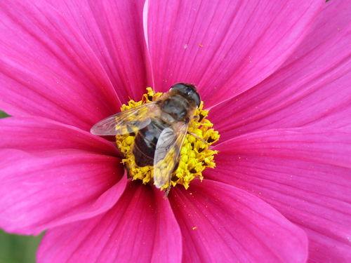 2008 09 26 Une abeille sur une fleur de cosmos