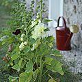 Premières roses trémières