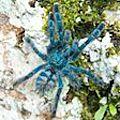 la <b>mygale</b> matoutou falaise de Martinique