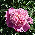 détail pivoine rose pale