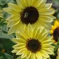 2008 09 10 Deux fleurs de tournesol musicbox