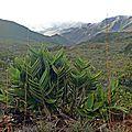 25 - GRESLANIA MONTANA - Les bambous <b>endémiques</b> de Nouvelle-Calédonie.