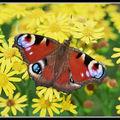 Butterfly (172)