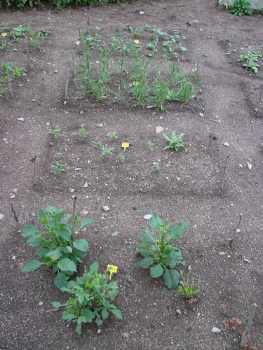 2008 07 03 Mes fleurs annuelle, rangée n°2