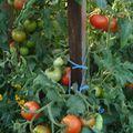 2009 08 14 Un plant de tomate Burpee Delicious