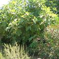 Figuier • Ficus carica • Famille des Moraceae
