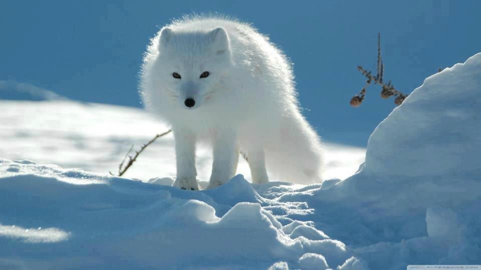 hiver renard5001_n