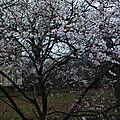 Prunus en fleurs