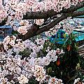 <b>Sakura</b>-2: les cerisiers du parc à Oji