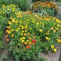 2008 08 25 Mes zinnia, mes soucis, mélange de fleurs pour papillon et oeillet d'Inde