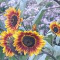 2008 10 04 Une tournesol beauté d'automne