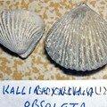 Kallirhynchia obsoleta