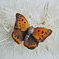 Ou papillon ???