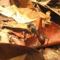 des fourmis énormes