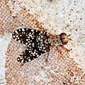Diptère Trypetoptera punctulata • Famille des Sciomyzidae
