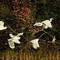 Sortie dans les marais 10 (migration dans les dombes).