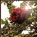 Un jour, une rose et un livre